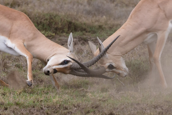 Photo of two rams locking horns in conflict